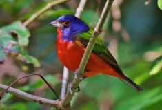 Painted Bunting Stock Photo