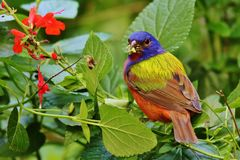 Painted Bunting Royalty Free Stock Photos