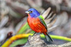 Painted Bunting &x28;Passerina Ciris&x29; Royalty Free Stock Images