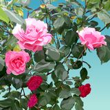 Painted bush with pink and light pink roses Stock Images