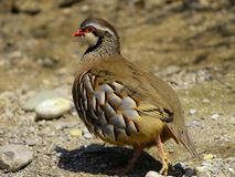 Painted Bush Quail. Closeup of a Painted Bush Quail walking on stony ground Stock Image