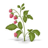 Painted bush of raspberry Stock Photography