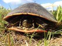 特写镜头Painted纹龟(Chrysemys picta)在草 库存照片