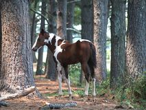 Painted Colt in Forest. A painted colt stands in a sun dappled pine forest Stock Photo