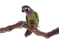 The painted conure, pyrrhura picta, on white royalty free stock photo