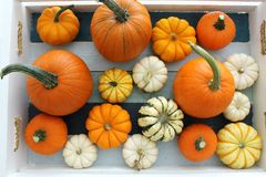 Painted crate full of mini Pumpkins & Gourds royalty free stock photo