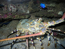 Painted_Crayfish Foto de Stock