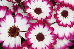Painted daisies Royalty Free Stock Images