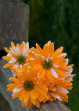 Painted daisies. Orange and white bouquet of daisies on a fence Royalty Free Stock Image