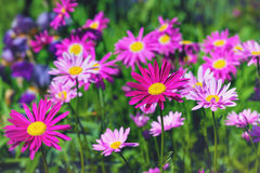 Painted Daisies Stock Photo