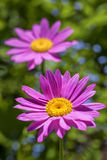 Painted Daisies Royalty Free Stock Photos