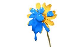 Painted Daisy Royalty Free Stock Photo