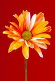 Painted Daisy. Photo of a Orange Painted Daisy stock image