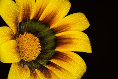 Painted daisy flower. Closeup of bright yellow painted daisy flower in bloom with black background Stock Photos