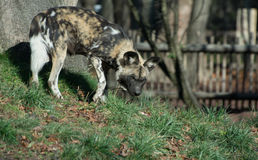Painted dog royalty free stock photos