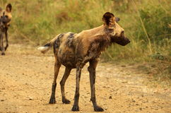 Southern african animals. Painted dog at Umfolozi National Park Royalty Free Stock Photography