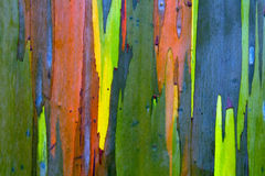 Rainbow Painted Eucalyptus (Gum) Tree Bark Background. Bark of a Painted (Gum) Eucalyptus tree. Kauai, Hawaii stock photos