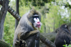 Painted face of a mandrill Stock Photography
