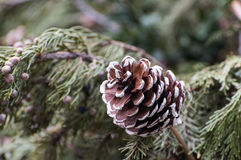 Painted fir-cone. Painted fir cone on a tree Royalty Free Stock Photography
