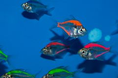 Group of Painted Glass fish. Painted fish are ornamental aquarium fish which have been artificially coloured to appeal to consumers. This artificial colouring Stock Image