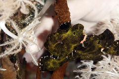 Painted frogfish Stock Photos