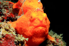 Painted Frogfish. Close-up of a Red Painted Frogfish (Antennarius Pictus), Lembeh Strait, Indonesia Stock Image