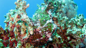 Painted Frogfish or Anglerfish,Antennarius pictus Stock Photo