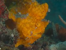 Painted frogfish Royalty Free Stock Images