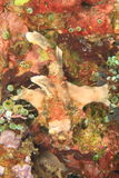 Painted frogfish Stock Photo