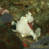 Painted frogfish Stock Image