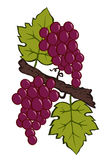 Painted grapes and leaves vector Stock Photography