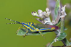 Painted Grasshopper Royalty Free Stock Image