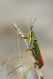 Painted Grasshopper Stock Photo