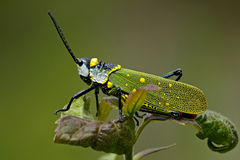 Painted Grasshopper Stock Images
