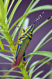 Painted Grasshopper. Or Poekilocerus pictus on oleander branch during monsoon, India Royalty Free Stock Photography