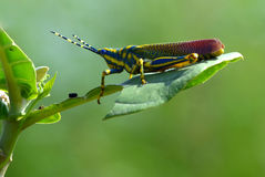 Painted Grasshopper. Or Poekilocerus with its half eaten leaf, during monsoon days, India Royalty Free Stock Photos