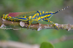 Painted Grasshopper : Insect. The half-grown immature form is greenish-yellow with fine black markings and small crimson spots. The mature grasshopper has canary Stock Image