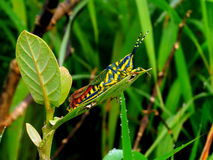 Painted Grasshopper Royalty Free Stock Images