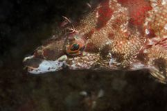Painted Greenling Royalty Free Stock Images