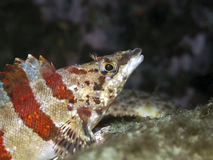 Painted Greenling Royalty Free Stock Photos