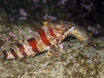 Painted Greenling Stock Image