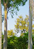 Painted Gum Trees. Royalty Free Stock Photography