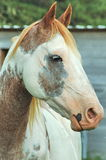 Painted Horse. Head shot of paint horse stock images