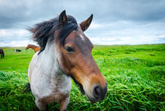 Painted horse comes up close to camera.  Lush green field of grass, overcast day. Royalty Free Stock Image