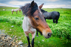 Painted horse comes up close to camera.  Lush green field of grass, overcast day. Stock Image