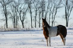 Painted Horse in the Snow Stock Image