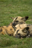 Painted Hunting Dogs. Pair of Painted Hunting Dogs (Lycaon pictus). One of the most endangered carnivores in Africa stock image