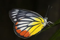 Painted jezabel  butterfly, Delias hyparete metarete Royalty Free Stock Image