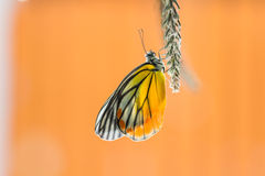 Painted Jezebel butterfly Stock Photography