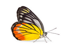 Painted Jezebel butterfly Stock Photos